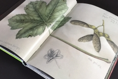 louise O'Reilly - botanical drawing